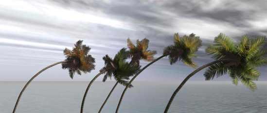hurricanepalmtree